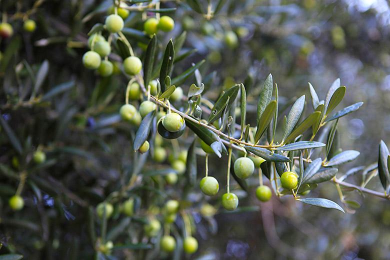 Olivovník, ostrov Hvar